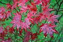 Japanese maple (Acer palmatum 'Bloodgood'), end October.