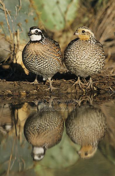 Northern Bobwhite, Colinus virginianus,pair at pond, Starr County, Rio Grande Valley, Texas, USA