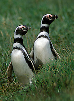 MEGALLANIC PENGUINS mate for life like this couple in the SENO OTWAY COLONY with 50,000 breeding pairs - PATAGONIA CHILE