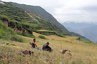 Tibetans harvesting wheat in the Tibetan foothills near the town of Heishui on the south-east edge of the Tibetan Plateau in Sichuan Province, western China.