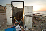 Domestic Cattle (Bos taurus) emerging from trash bin after feeding on garbage, Hawf Protected Area, Yemen