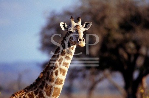 Mikumi Game Reserve, Tanzania. Giraffe with trees behind; head and neck.