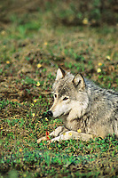 Gray wolf chews on caribou bone, Denali National Park, Alaska