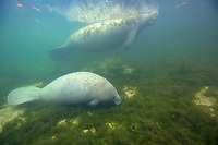 Florida Manatee, Trichechus manatus latirostris, a subspecies of West Indian Manatees, Trichechus manatus, mother and calf, feeding in Kings Bay, Crystal River, Florida, USA, Gulf of Mexico, Atlantic Ocean