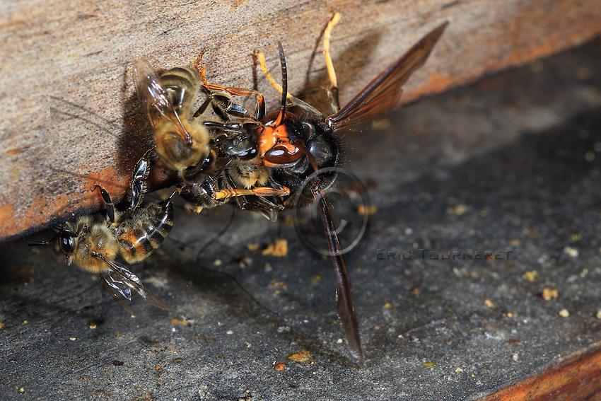 Mortal combat on a hive's flight board. The Asian hornet does not hesitate to attack the bees at the foot of the hive.///Combat mortel sur la planche d'envol d'une ruche. Le frelon asiatique n'hésite pas à attaquer les abeilles au pied de la ruche.