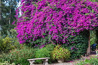 Bougainvillea flowering in Taft Gardens; Ojai, California
