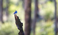 A male Mountain bluebird perches on a burnt snag.
