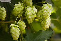 Hops, (Humulus lupulus) seed cones or strobiles on plant in herb garden
