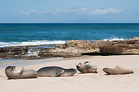 group of Hawaiian monk seals, Neomonachus schauinslandi, with dominant male growling; Critically Endangered endemic species, resting on beach at west end of Molokai Island, USA, Pacific Ocean