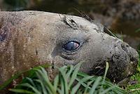 Here's mud in your eye - Female Elephant Seal, Macquarie Island