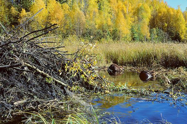 American Beaver feeding near lodge.  Fall
