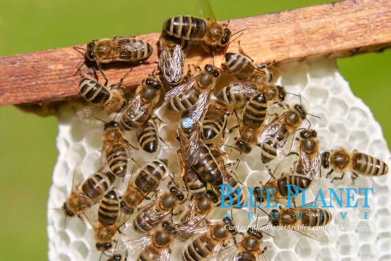Bees with queen regina