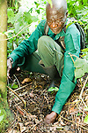 Anti-poaching snare removal team member, John Okwilo, removing illegally set foot snare, Kibale National Park, western Uganda