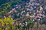 Mixed forest of flowering cherry, pines, and bamboo, Huang Shan landscape, China