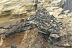 Ocean iguanas over a rock,Galapagos Ecuador.