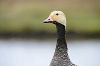 Emperor Goose (Chen canagica) head portrait in the rain. Yukon Delta, Alaska. June.