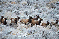 I love elk.  Always have, always will. Graceful, powerful, formidable.  The bulls will soon separate from the cows and form their own bachelor groups for the winter. Fresh October snow has them on the move.  October 26, 2012.