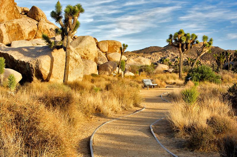 Joshua trees and path in Joshua Tree National Park. California