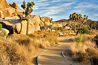Joshua trees and path in Joshua Tree National Park. California