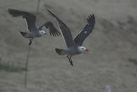 Heermann's Gull in flight. Seen on the California coast.