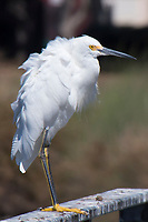 A Snowy egret stands on a guano covered railing and keeps a close eye on human visitors to the neighborhood park known as The Duck Pond in San Lorenzo, California.