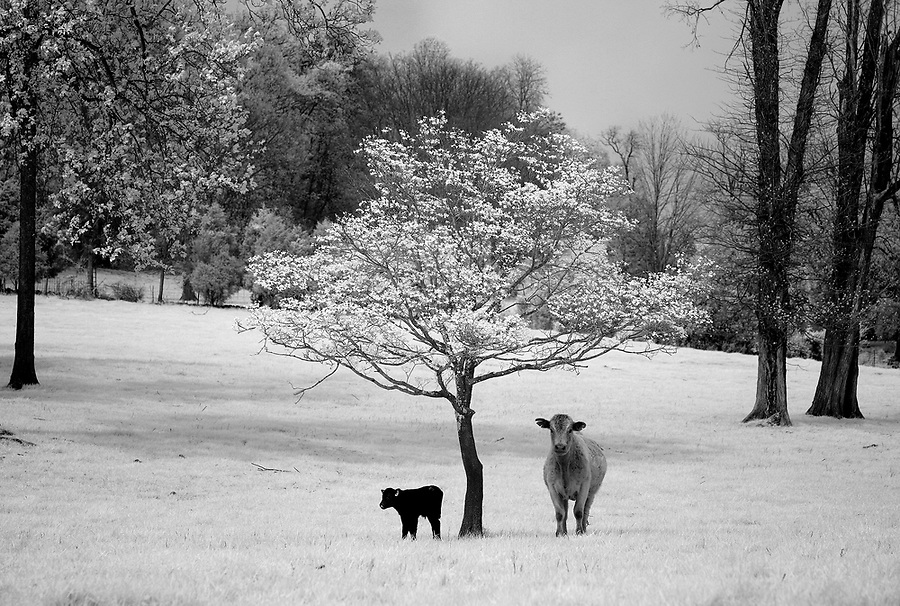 A cow and it's calf rest under a blooming Dogwood Tree in Greene County, VA.