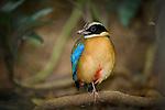 Male Blue-winged Pitta (Pitta moluccensis) on rainforest floor. Danum Valley, Sabah, Borneo.