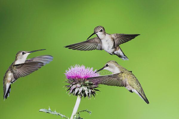 Black-chinned Hummingbird (Archilochus alexandri), females feeding on Texas thistle (Cirsium texanum), Sinton, Corpus Christi, Coastal Bend, Texas, USA