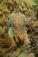 Giant Cuttlefish, Sepia apama, at breeding aggregation, Point Lowly, Whyalla, South Australia, Australia, Spencer Gulf, Southern Ocean