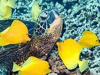 green sea turtle, Chelonia mydas, being cleaned by yellow tang, Zebrasoma flavescens, Puako, Big Island, Hawaii, USA, Pacific Ocean