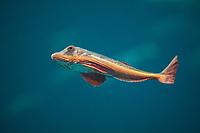 Roter Knurrhahn, Seeschwalbenfisch, Chelidonichthys lucernus, Trigla lucerna, Chelidonichthys lucerna, tub gurnard, sapphirine gurnard, Le grondin perlon, le trigle hirondelle, le galline, le gallinette