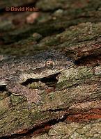 0507-08tt  Flat-tailed House Gecko, Cosymbotus platyurus © David Kuhn/Dwight Kuhn Photography