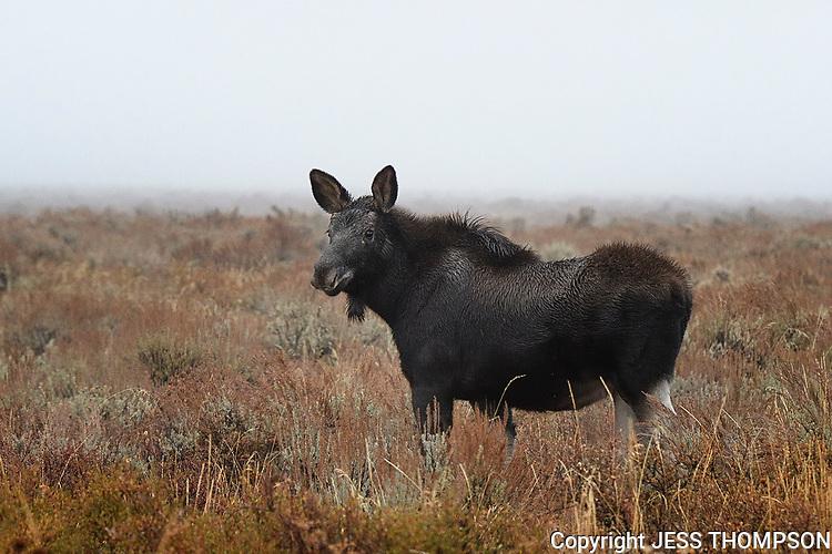Moose Calf, Grand Teton National Park