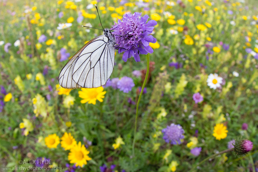 Black Veined White butterfly (Aporia crataegi) photographed with fisheye lens to show alpine meadow habitat. Nordtirol, Austrian Alps, Austria, July.