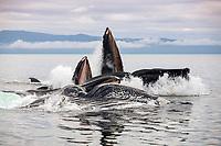 USA, Alaska, Chatham Strait, Humpback whales (Megaptera novaeangliae) bubble-feeding