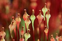 Flaschenfrüchtiges Schirmmoos, Flaschenförmiges Blasenmoos, Splachnum ampullaceum