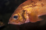 acadian redfish, close-up of face