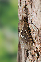 Kleiner Hopfen-Wurzelbohrer, Kleiner Hopfenwurzelbohrer, Hopfen-Wurzelbohrer, Wurzelbohrer, Korscheltellus lupulina, Pharmacis lupulina, Hepialus lupulinus, common swift, swift, Lupulina Ghost Moth, swift moth, ghost moth, la Louvette, la petite hépiale du houblon, Hepialidae, Wurzelbohrer, swift moths, ghost moths