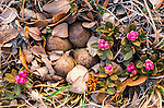 Western sandpiper eggs remain well concealed amidst leaf litter and a flowering rhododendron known as Lapland Rosebay.
