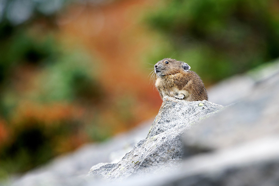 American pika (Ochotona princeps) sitting on boulder, autumn color in background, Mount Rainier National Park, Washington, USA