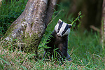 European Badger (Meles meles) foraging at a tree trunk in deciduous woodland. June, Mid Devon, UK.