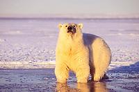 polar bear, Ursus maritimus, in slushy pack ice, 1002 area of the Arctic National Wildlife Refuge, Alaska, polar bear, Ursus maritimus