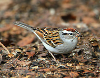 Chipping sparrow in February