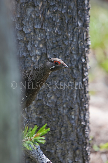 Spruce Grouse peering around a tree in a Montana forest