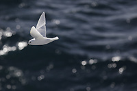 Bird, Snow Petrel, Pagodroma nivea, in flight. One of only three bird species that breed exclusively in Antarctica<br />