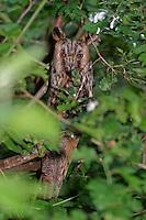 Waldohreule, Wald-Ohreule, Asio otus, long-eared owl