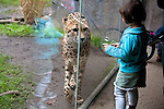 Visitors observe one of our cheetahs in the Predators of the Serengeti exhibit at the Oregon Zoo. © Oregon Zoo / photo by Carli Davidson