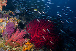 Rainbow Reef, Red lavender gorgonian corals with school of fish, healthy reef