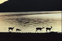 Deer, Lassen Volcanic Park