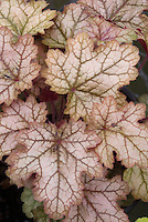 Heuchera Volcano silvery pink shade garden plant, in autumn fall color